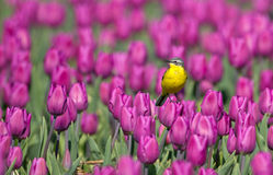 Yellow Wagtail. Sitting on tulips in the Netherlands Stock Image