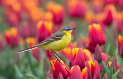Yellow Wagtail. Sitting on tulips in the Netherlands stock photos