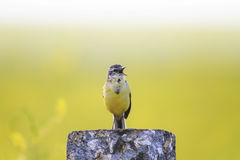 Yellow Wagtail stands on a rock and sings a song. Bird yellow Wagtail stands on a rock and sings a song Stock Photography