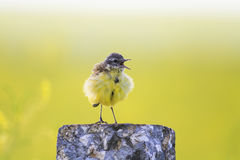 Yellow Wagtail stands on a rock and sings a song. Bird yellow Wagtail stands on a rock and sings a song Stock Images