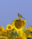 Yellow Wagtail on a sunflower Royalty Free Stock Image
