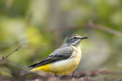 Yellow Wagtail. In their natural habitat Stock Photo