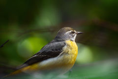 Yellow Wagtail. In their natural habitat Royalty Free Stock Photography