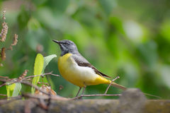 Yellow Wagtail. In their natural habitat Royalty Free Stock Image