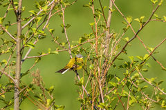 Yellow wagtail in a tree Stock Photo