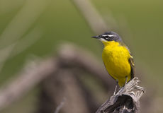 Yellow Wagtail on a Tree Trunk. A yellow wagtail is is perching on a piece of trunk stock photos