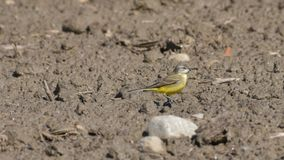 Yellow Wagtail Walking in the Sand royalty free stock photography