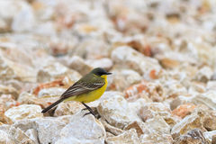 Yellow wagtail warble. Standing on the rocks Stock Photo
