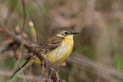 Yellow wagtail warble. In Danube Delta, Romania stock photos