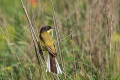 Yellow wagtail warble Stock Images