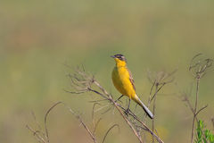 Yellow wagtail warble. On a tree twig Royalty Free Stock Photography
