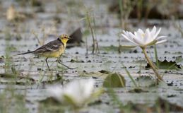 Yellow wagtail with water lillies pond. At sunrise royalty free stock photography
