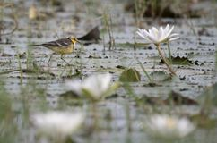 Yellow wagtail with water lillies pond. At sunrise stock photography