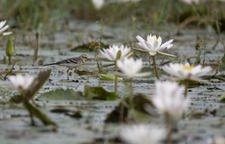 Yellow wagtail with water lillies pond. At sunrise stock image