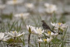 Yellow wagtail with water lillies pond. At sunrise royalty free stock images