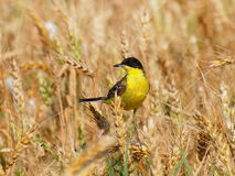 Yellow Wagtail and Wheat field Royalty Free Stock Image