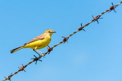 Yellow wagtail on wire fence Royalty Free Stock Photography