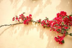 Yellow wall of the building where bright red flowers grow stock images