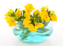 Yellow wallflowers Royalty Free Stock Images