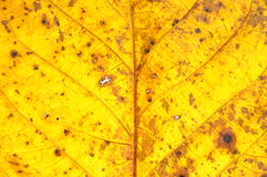 Yellow walnut leaf surface Stock Image
