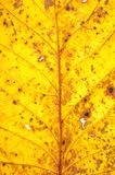 Yellow walnut leaf surface Royalty Free Stock Photography