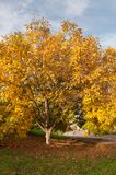 Yellow walnut tree in a park. A view of an autumn yellow walnut tree in a park Stock Photo
