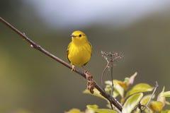 Yellow Warbler Stock Photos