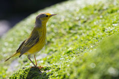 Yellow Warbler. A yellow warbler on a rock Royalty Free Stock Photography