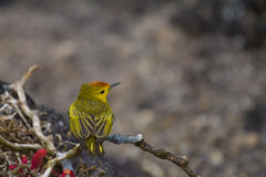 Yellow Warbler. A Yellow Warbler in a tree Stock Photography
