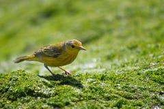 Yellow Warbler. A Yellow warbler on algae Royalty Free Stock Image