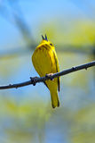 Yellow Warbler. Singing in a tree Stock Images