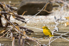 Yellow Warbler. In the Galapagod Islands royalty free stock photography