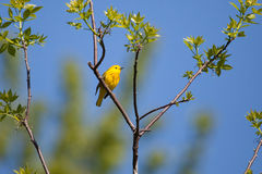 Yellow Warbler. During spring migration Stock Photo