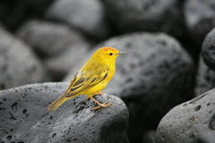 Yellow Warbler. On Galapagos island Royalty Free Stock Images