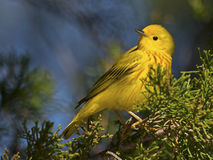 Free Yellow Warbler Stock Images - 59304144