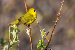 Yellow Warbler. Adult Yellow Warbler Perched and Chirping on Willow Branch stock images