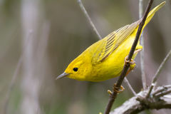 Yellow Warbler Stock Photography