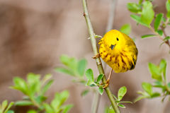 Yellow Warbler. A beautiful Yellow Warbler perched in a bush Royalty Free Stock Photography