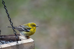Yellow Warbler bird. Beautiful Yellow Warbler bird sitting on edge of wooden bird feeder.  Copy space on right side of horizontal photo Stock Image