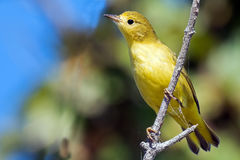 Yellow Warbler. Clinging to a branch Stock Image