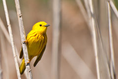 Yellow Warbler. A close up of an Yellow Warbler during spring migration Stock Images