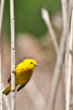 Yellow Warbler. A close up of an Yellow Warbler during spring migration Stock Photo