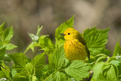 Yellow Warbler (Dendroica petechia). Perched among bright green spring foliage royalty free stock photography
