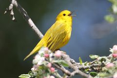 Yellow Warbler (Dendroica petechia) Royalty Free Stock Photos
