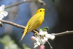 Yellow Warbler (Dendroica petechia) Stock Images