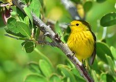 Yellow Warbler (Dendroica petechia gundlachi) Royalty Free Stock Image