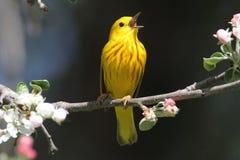 Yellow Warbler (Dendroica petechia) Singing Stock Photos