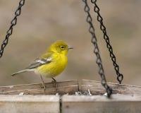 Yellow warbler at the feeder. Bright yellow warbler sitting on bird feeder Stock Image
