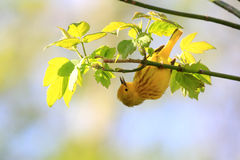 Yellow Warbler Royalty Free Stock Images