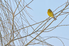 Yellow Warbler female. In winter time Royalty Free Stock Photo